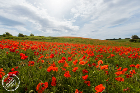 Poppy Field Houghton Le Spring