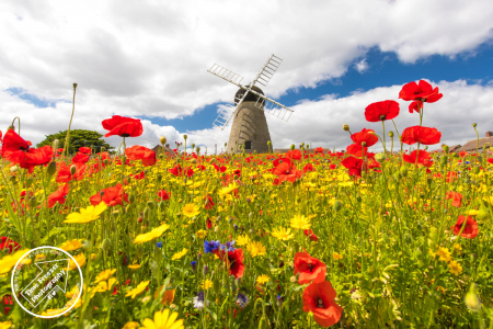Poppies at whitburn windmill
