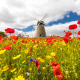 Poppies at whitburn windmill