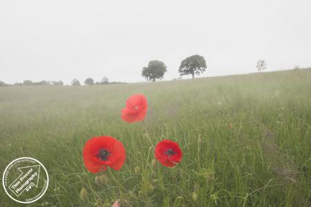 Poppy Field Aydon Castle